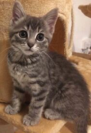 Stunning 11 week old blue/grey and white kitten for sale