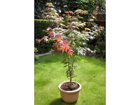 Spectacular Acer Palmatum shrub for sale. Height 5 ft.
