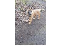 Belgian shepherd- 5 month old puppy for sale-650.00 - female