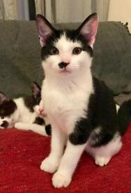BEAUTIFUL MALE KITTEN for sale in North London, 4 months old, friendly and house trained
