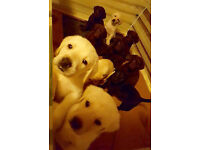 Labrador puppies for sale!! chipped and vaccination !!