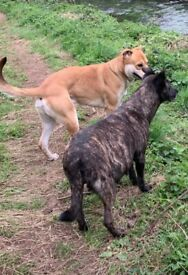 READY NOW!! Staff x German shepherd puppies for sale Nottingham Gsd