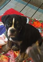 Male olde English bulldogee 587-990-9109