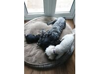 Only 2 Schnoodle now available