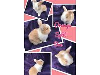 Mini lop babies for reservation