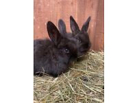 Continental Giants & giant lops for sale