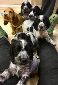 Cocker spaniel puppies for sale READY NOW
