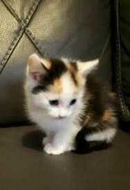 Ginger white black kitten female