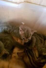 2 Bengal kittens 1 grey marble 1 Brown rosette