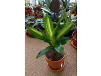 Houseplants - Indoor plants - Dragon Tree - Corn Plant - Air-purifying