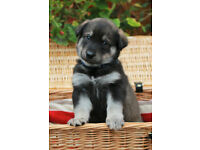 Northern Inuit (Direwolf) X Labrador puppies. Fully vaccinated & chipped. Pedigree parents. £650