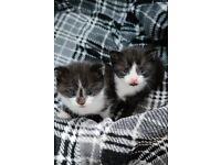 Kittens black & white