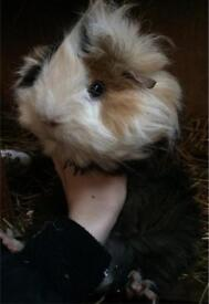 Freddie the Guinea Pig