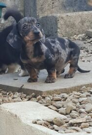 Stunning dachshund male puppies