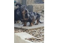 Smooth haired miniature dachshund male puppies