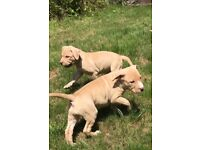 Stunning American bully puppies males and females