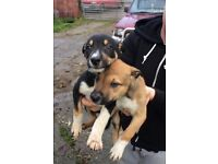 Lurcher puppies 8 weeks old £100 good homes only