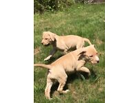 Beautiful American bully puppies males and females