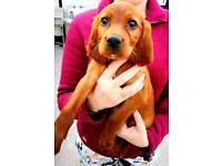 Red Setter puppies for sale