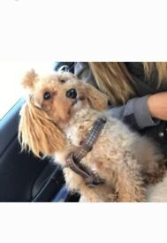 13 month old fox red Toy Cavapoo female