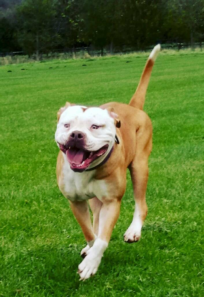 Red And White Olde English Bulldog Female In Creswell