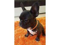 Beautiful French bulldog boy for sale!