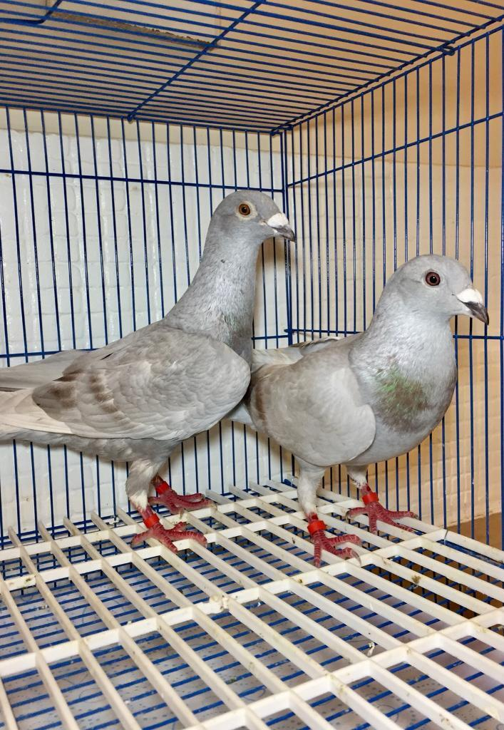 Pair of mealy homing pigeons for sale | in Sheffield, South Yorkshire |  Gumtree
