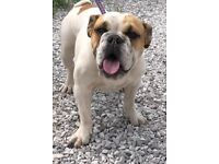 10 Month old Female British Bulldog
