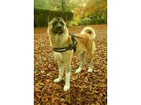 15 month old american akita pup *microchipped