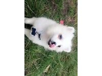 Teacup pomeranian - KC Registered