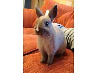 Baby Netherland Dwarf rabbit for sale