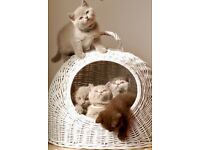 Pedigree British Shorthair Kittens for Sale