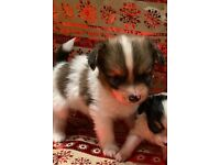 Beautiful butterfly Papillon puppy