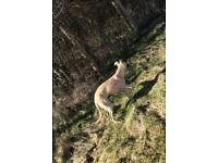 Saluki whiooet collie greyhound