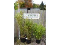 Bamboo Plant Fargesia murielae 'Superjumbo' 20 litre