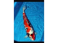 Variety of Koi Karp