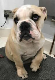 KC Registered English Bulldog 18 wks Old