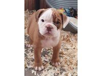 Olde English Bulldog pups for sale