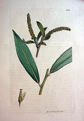 Sowerby Blauweide Salix caerulea Kupferstich Copper engraving altkoloriert 1812