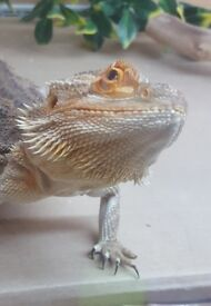 Bearded Dragon and full set up included