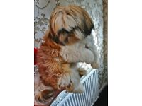 Shitzu female pup kc registered for sale