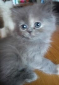 Cross Persian rag doll kittens
