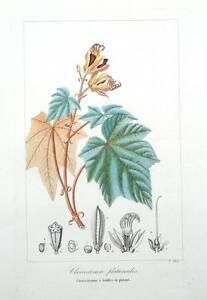 CHEIROSTEMON-PLATANOIDES-HAND-TREE-Pancrace-Bessa-Antique-Botanical-Print-c1820