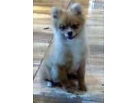 Beautiful Fox Red Pomeranian Puppy Boy KC reg