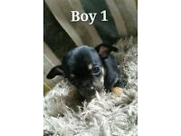 Smooth coat non kc chihuahua puppies