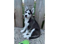 Siberian Husky Puppys 1x Boy Ready to leave