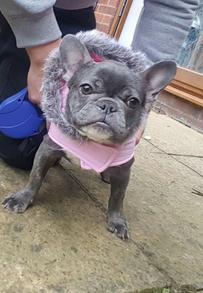 reduced 8 months old girl french bulldog 2700 in diss