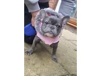 REDUCED! 8 MONTHS OLD GIRL FRENCH BULLDOG! £2500