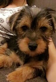 Lovely Puppy YorkieShire Terrier 03 Months Old