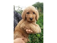 KC Registered Standard Poodle Puppies